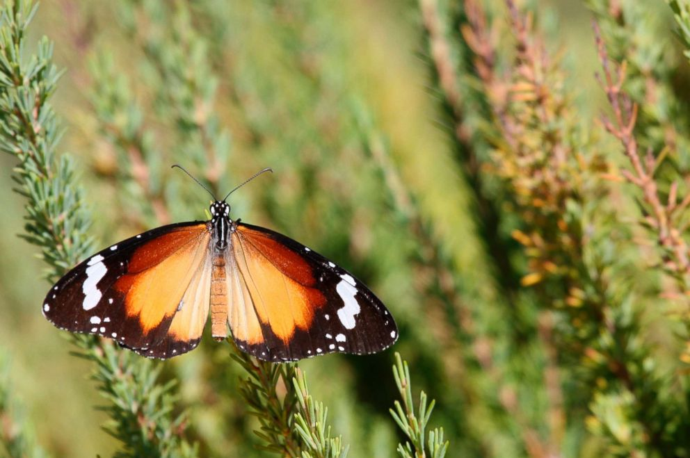 PHOTO: African monarch butterfly (Danaus chrysippus), Buffalo Beach, is seen in Western Australia, Jan. 1, 2011.