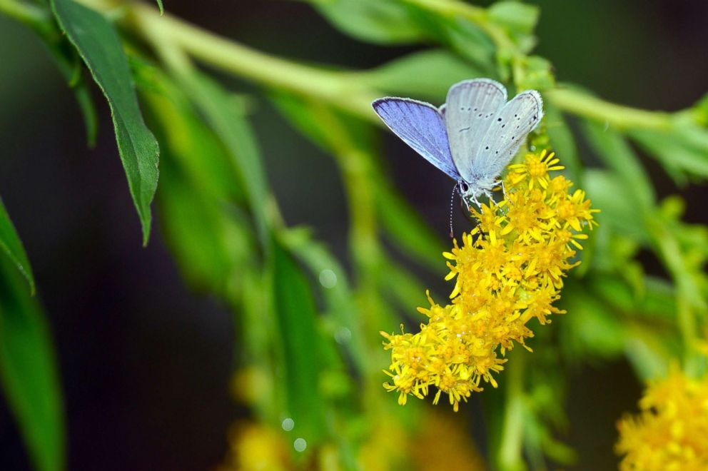 PHOTO: A Holly Blue butterfly (or Hill Hedge Blue) (Celastrina argiolus), is seen on a flower, Jan. 2, 2008.