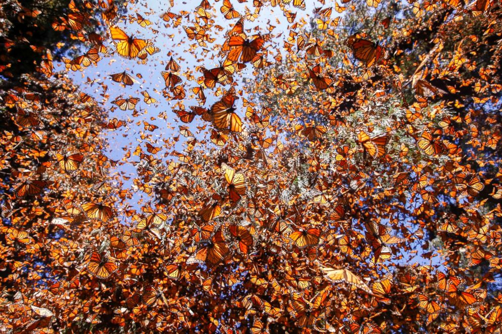 PHOTO: Monarch butterflies (Danaus plexippus) are seen in winter from November to March at the Reserva de la Biosfera Mariposa Monarca El Rosario, Angangueo, Michoacan state in central Mexico, Feb. 23, 2017.