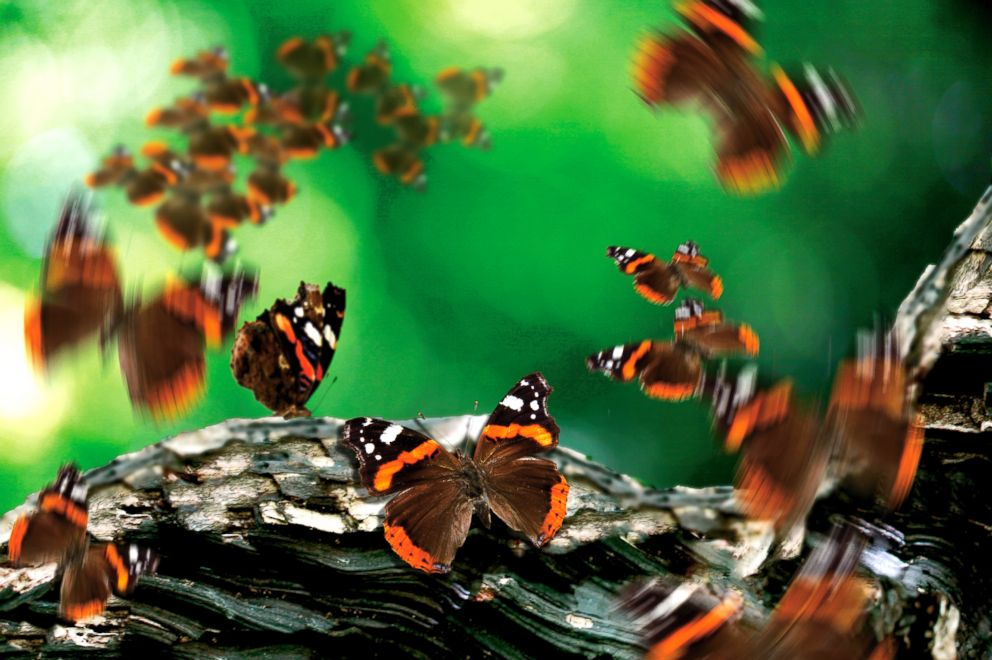 PHOTO: A flurry of Red Admiral butterflies around a tree branch taken on June 9, 2011.