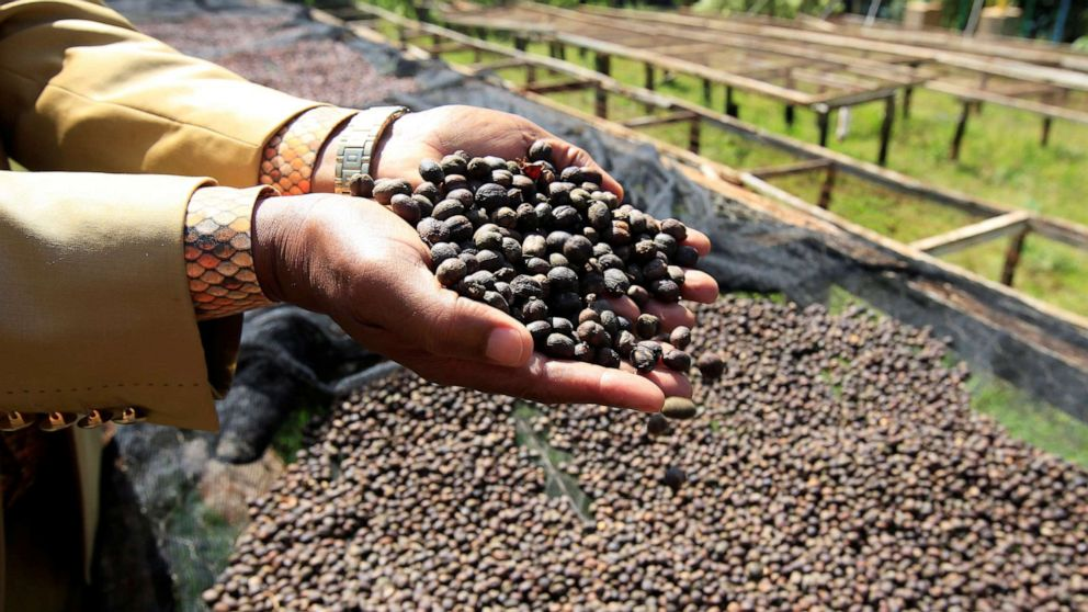 PHOTO: A worker holds coffee berries as they look to sun dry them at the Bradegate coffee factory in Karatina, near Nyeri, Kenya, June 3, 2021.