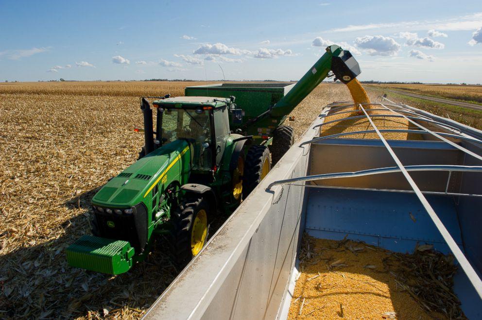 PHOTO: Harvesting corn.