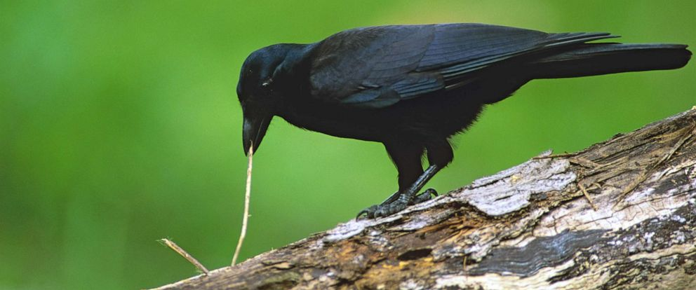 PHOTO: New Caledonian crow (Corvus moneduloides) is shown using a tool to dislodge a worm.