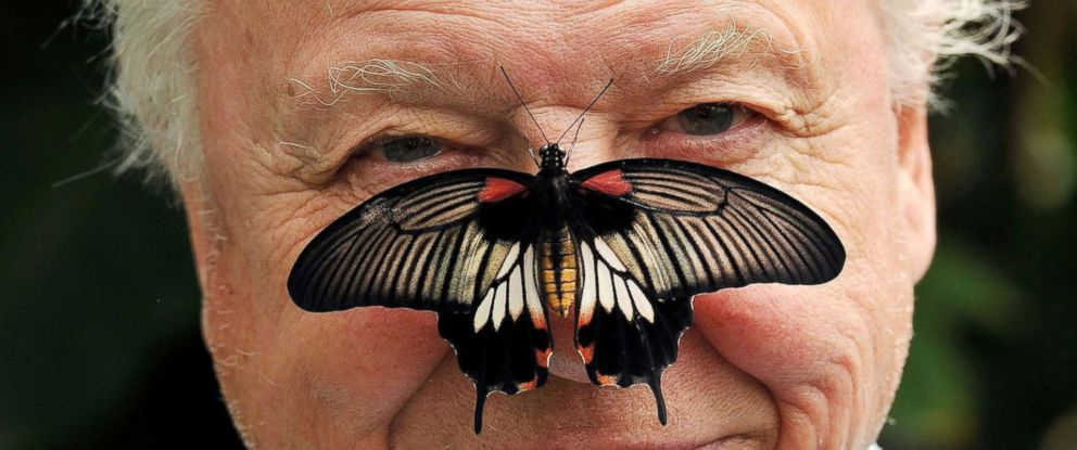 PHOTO: Sir David Attenborough poses with a south east Asian Great Mormon Butterfly on his nose, July 7, 2012.