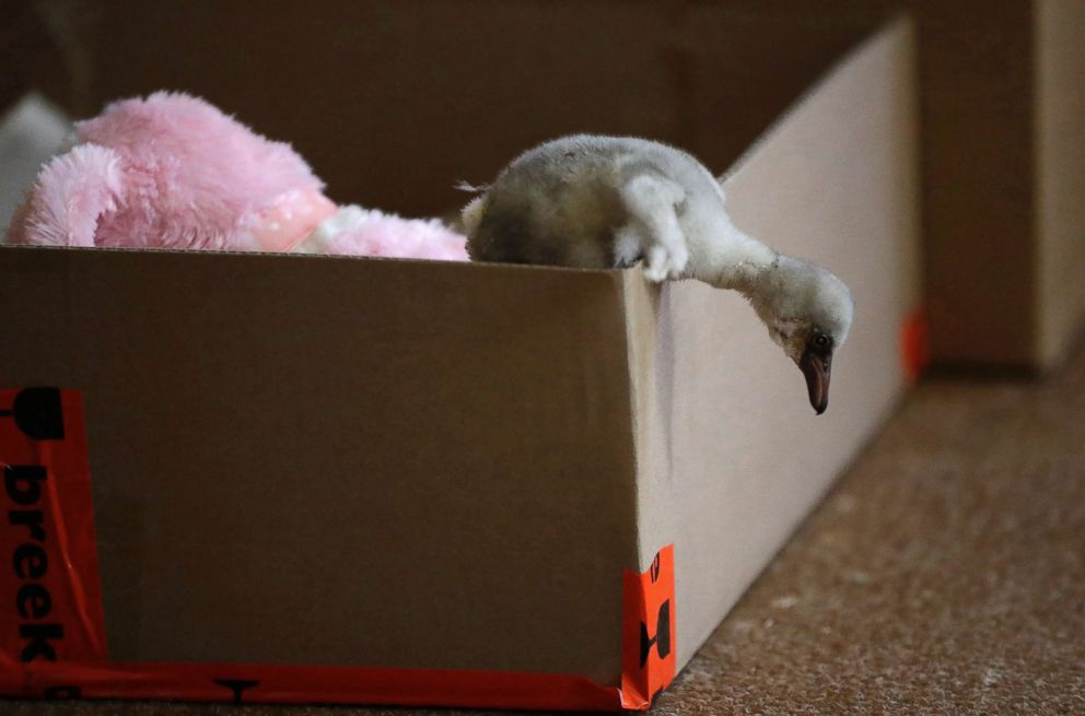 PHOTO: A rescued flamingo chick climbs out of a box at a center in Pretoria, South Africa, after being rescued from a dried out dam, Jan. 31, 2019.