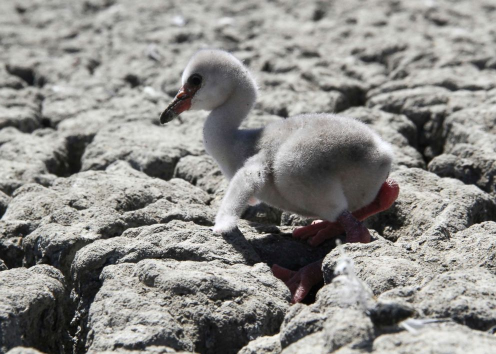 PHOTO: A newly born flamingo chick struggles to walk on a dried out dam in Kimberley, South Africa, Jan. 27, 2019.