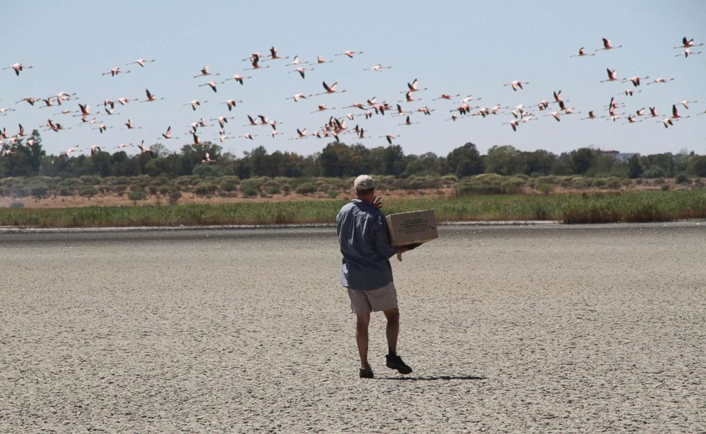 PHOTO: A volunteer collects flamingo chicks at the Kamfer Dam, in Kimberley, South Africa, which has dried up due to drought, putting the birds breeding grounds in peril.
