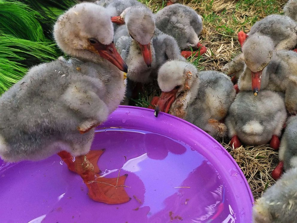 PHOTO: Rescued flamingo chicks make use of a pool of water after being rescued from a dried out dam in Kimberley, South Africa, Jan. 26, 2019.
