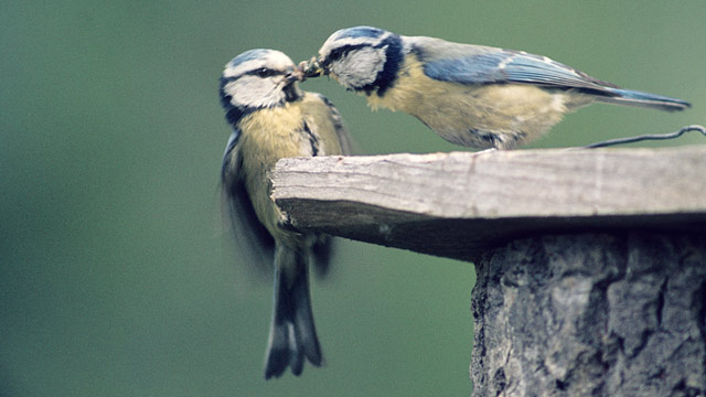 PHOTO: In one ambitious study, British scientists found that female Blue-Tits prefer having their eggs fertilized by a male other than their social partner.