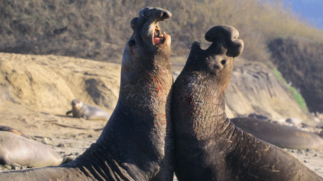 PHOTO: Northern elephant seal bulls fight on the beach in Nuevo State Reserve, Calif.