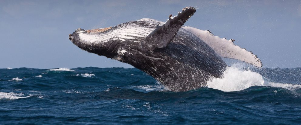 PHOTO: Breaching Humpback Whale in the Indian Ocean.
