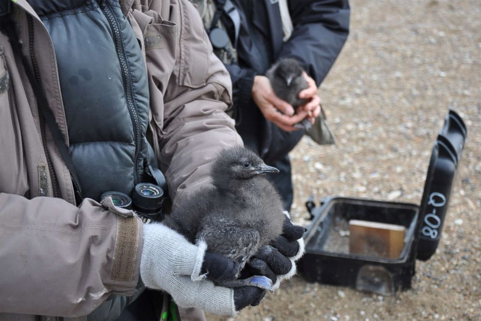 PHOTO: George Divoky cradles a guillemot chick in 2015 while a field assistant holds its sibling in the background. The chicks nest box lies open on the ground.