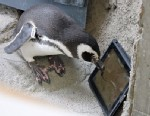 """PHOTO: Newsom the penguin plays the iPad app """"Game for Cats"""" at the Aquarium of the Pacific in Long Beach, Calif."""