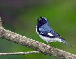 PHOTO: Black-throated blue warbler