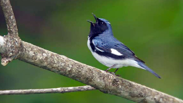 PHOTO: Black-throated blue warbler