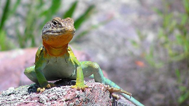 PHOTO:A male collared lizard in Missouris Ozark Mountains.