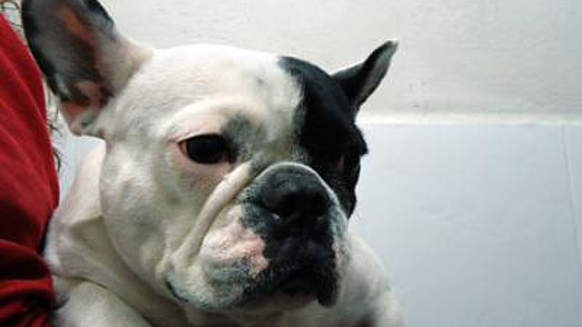"""PHOTO: According to a news release from the CEU-Cardenal Herrera University in Valencia, specialists learned that a """"female"""" French Bulldog, Tana, acually had the internal organs of a male."""