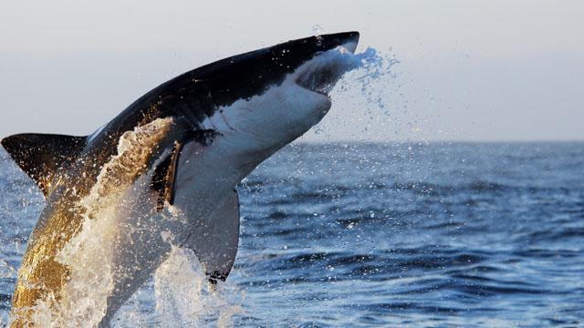 PHOTO: Great White Shark