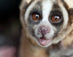 PHOTO: Slow Loris cute face is its curse. The are endangered because people in Southeast Asia will capture them and sell them as pets.