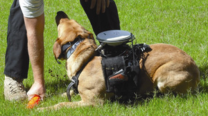 PHOTO A new custom dog harness equipped with GPS, sensors, a processor and a radio modem developed at Auburn University is shown here.