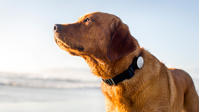 PHOTO: Whistle is a small device that connects to a dog collar to measure activity and rest.