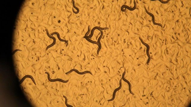 PHOTO: By studying the roundworm, Dr. Cynthia Kenyon and her team have pinpointed a combination of rare genes that seem to counter the effects of aging.
