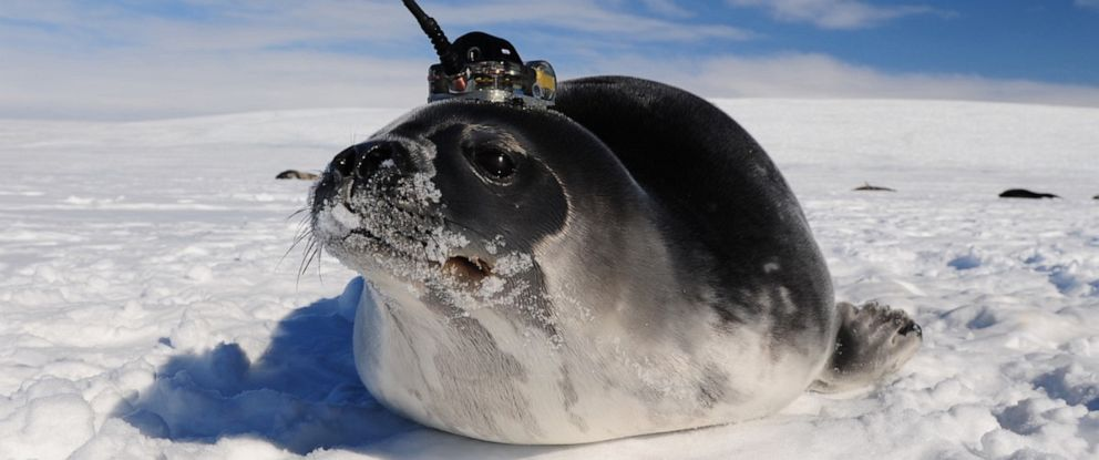 PHOTO: A seal with a satellite transmitter used by researchers studying holes in Antarctic sea ice called polynyas.