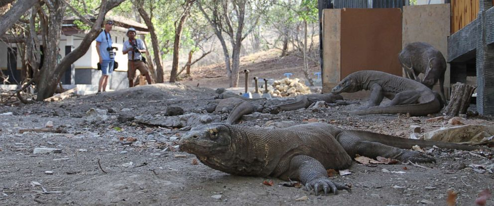 PHOTO: Komodo Dragons who have been habituated to co-occur with humans.