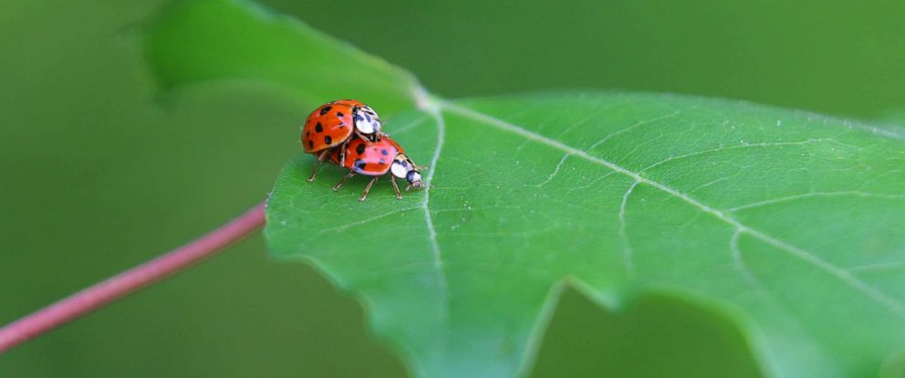 PHOTO: Two ladybugs mate on a leaf in Denklingen, Germany, May 14, 2018.
