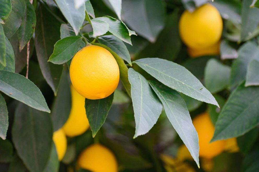 PHOTO: California lemons hang on a tree.