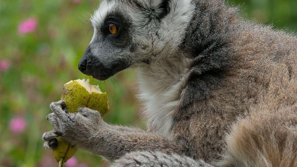 A lemur eats fruit in an undated stock photo.
