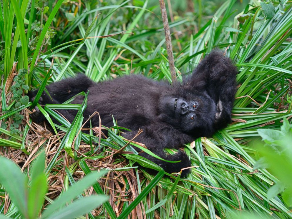 PHOTO: A young mountain gorillas named Fasha, who has faced a number of challenges in her young life, including having been caught in a snare in the past, lies in the grass in Rwandas Volcanoes National Park in 2016.