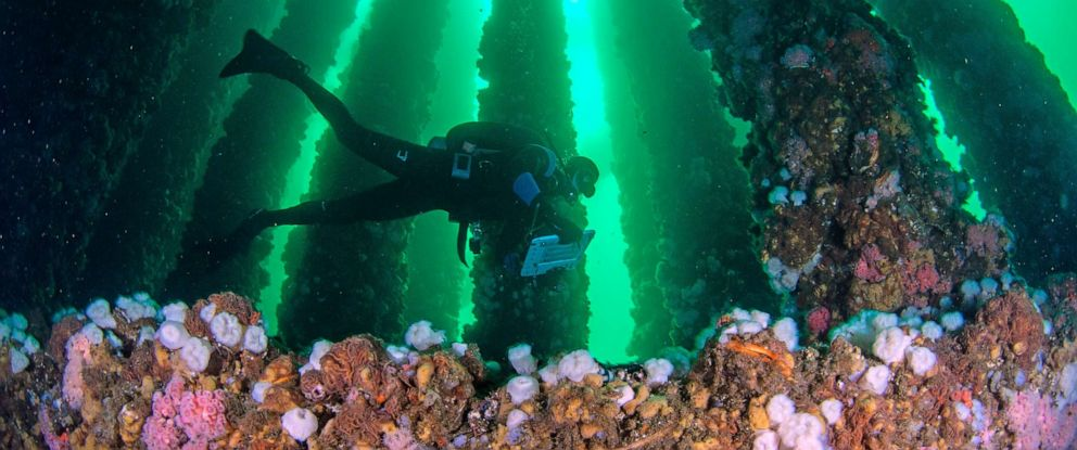 PHOTO: New research shows how decommissioned oil rigs can become home to an abundance of fish and invertebrates.