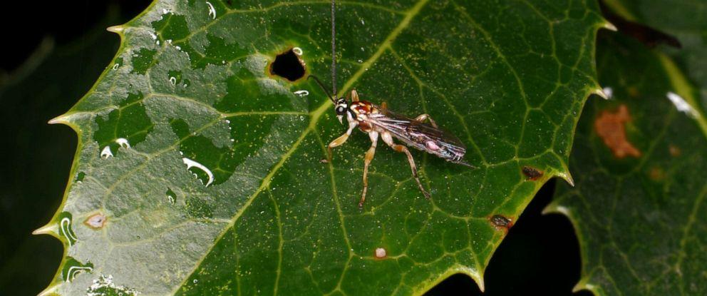 PHOTO: The parasitic wasp Zatypota maculata is seen here.