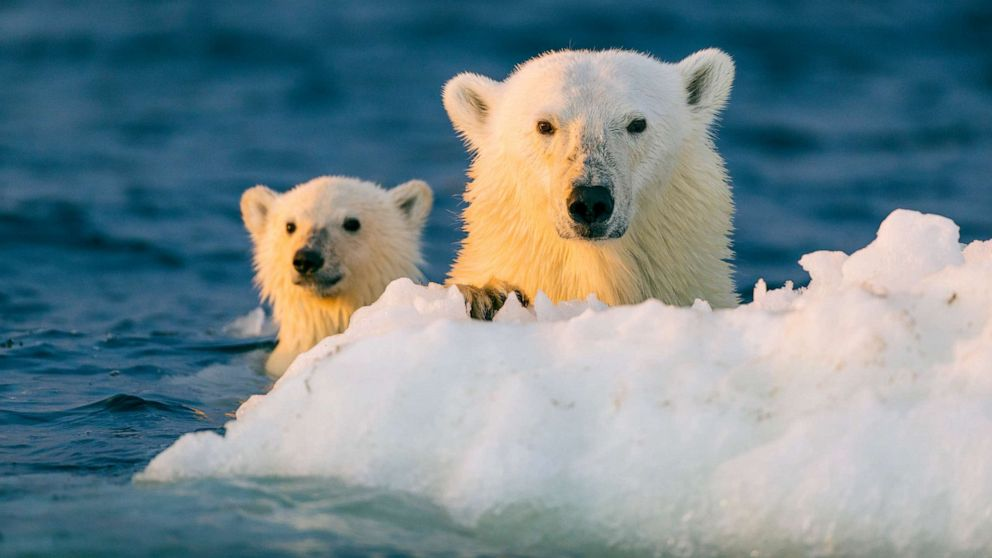 Climate Change Could Make Giving Birth Riskier For Polar Bears In Northern Alaska Abc News