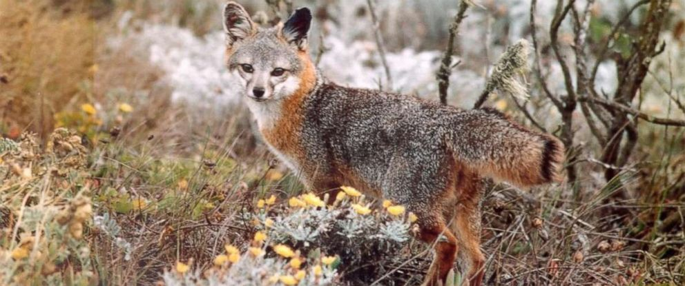 PHOTO: In this undated photo, a fox is shown in the wild in Channel Island National Park.