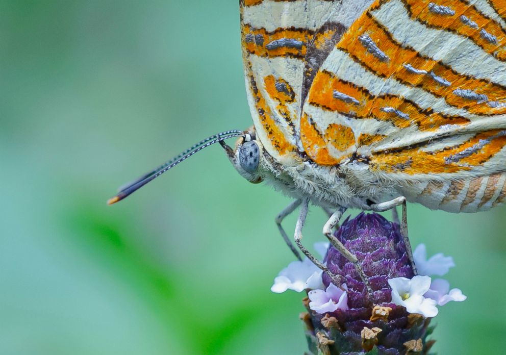PHOTO: A common Silverline butterfly sits on a flower on March 17, 2015 in Kolkata, India.