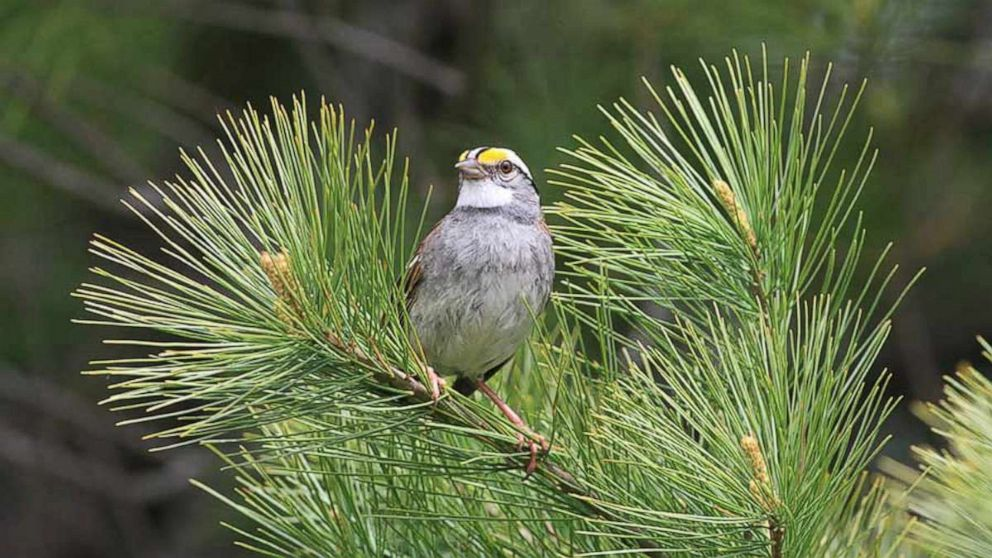 White-throated sparrows' new tune 'going viral'