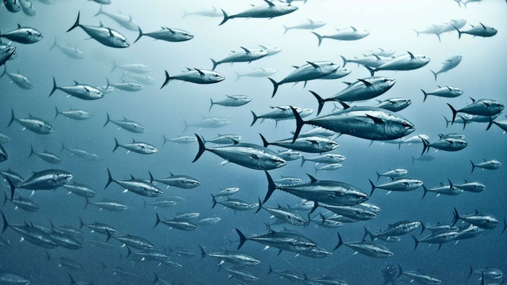 PHOTO: In this undated file photo, a large group of yellowfin tuna is shown in the waters off Vibo Valentia, Calabria, Italy.