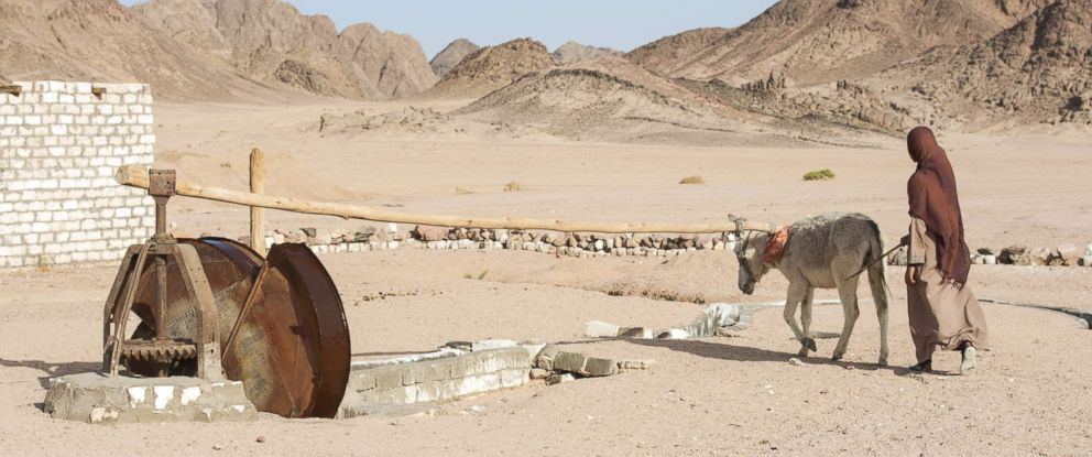 PHOTO: Traditional Egyptian Bedouin girl with donkey works a village water wheel in eastern desert.