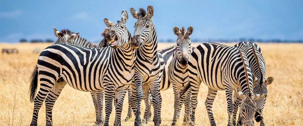 PHOTO: In this undated photo, a group of zebras are shown in Tarangire National Park in Tanzania.