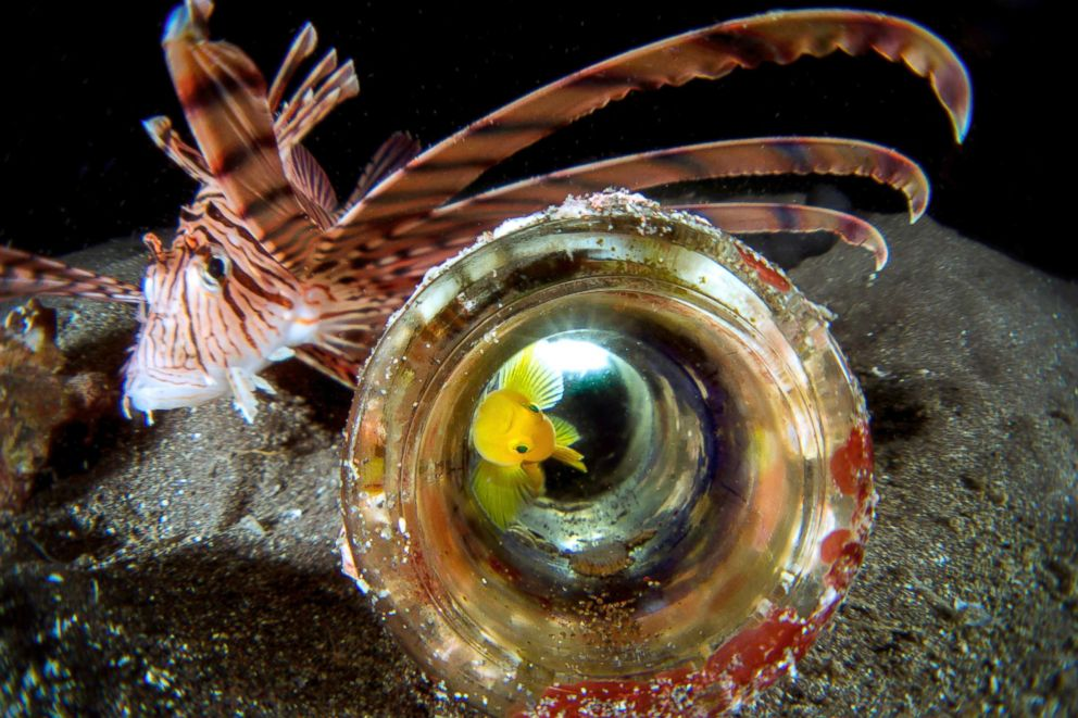 PHOTO: Golden goby makes a discarded bottle on the sea floor his home. Because they are so tiny, they are always living under the threat of their natural enemies, Sept. 27, 2014, in Osezaki, Nishi-Izu, Shizuoka Prefecture, Japan.