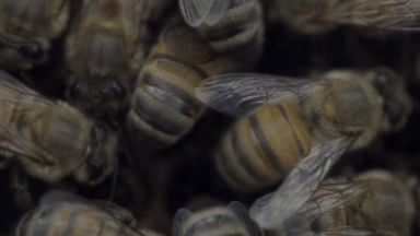 'VIDEO: Bee Migration - Food Forecast Season 2' from the web at 'https://s.abcnews.com/images/Travel/180108_vod_orig_ff_bees1_16x9_384.jpg'