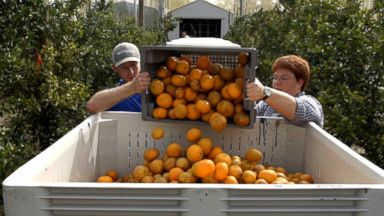 'VIDEO: Florida Oranges - Food Forecast Season 2' from the web at 'https://s.abcnews.com/images/Travel/180108_vod_orig_ff_oranges1_16x9_384.jpg'