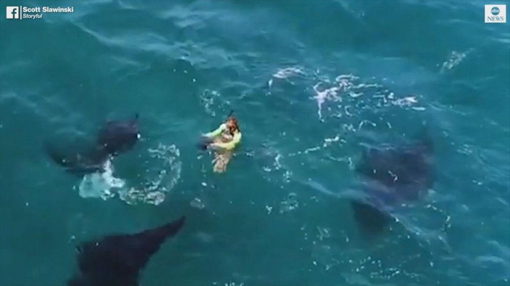 Manta rays circle diver on snorkeling trip