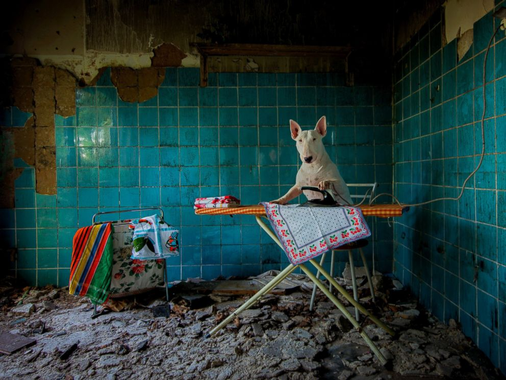 PHOTO: Claire, the three-year-old bull terrier who travels the world with Dutch photographer Alice van Kempen, irons in an abandoned farmhouse in the Netherlands.
