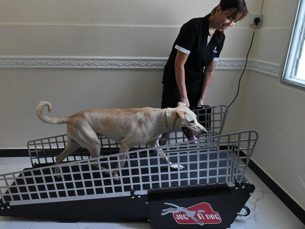 PHOTO: A dog is led on a treadmill by a staff member for exercise at the Wagington luxury pet hotel in Singapore on Nov. 4, 2014.