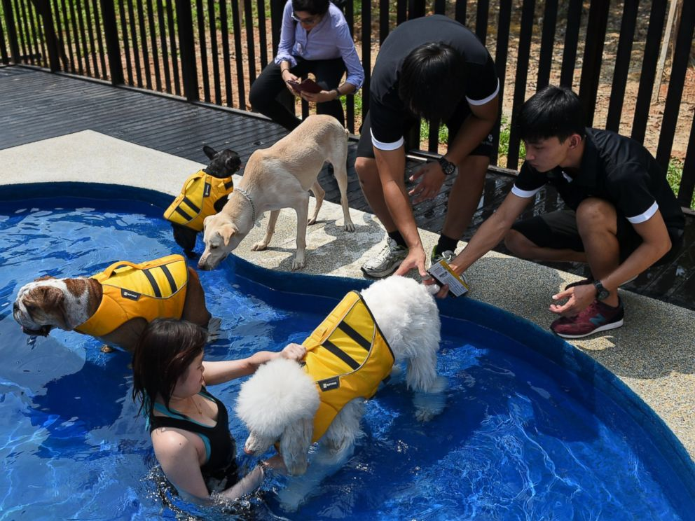 PHOTO: Staff members take dogs for a swim in a bone-shaped pool at the Wagington luxury pet hotel in Singapore on Nov. 4, 2014.