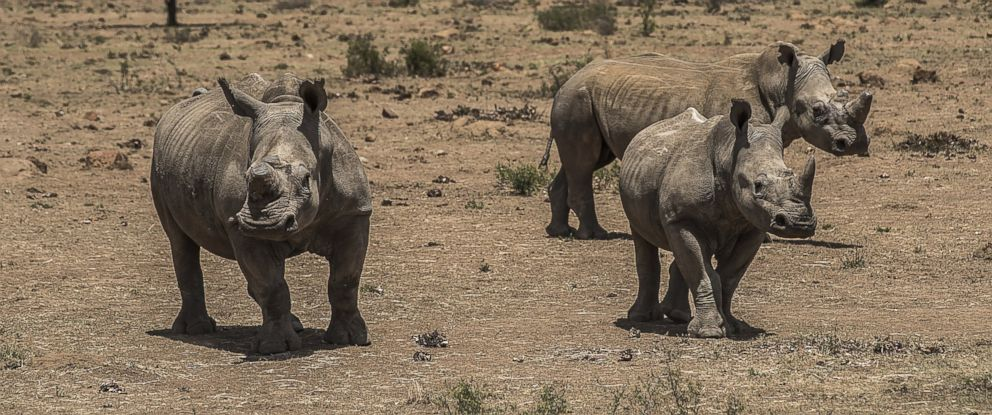 PHOTO:Three white rhinos graze on a private ranch in South Africa, Dec. 4, 2015.