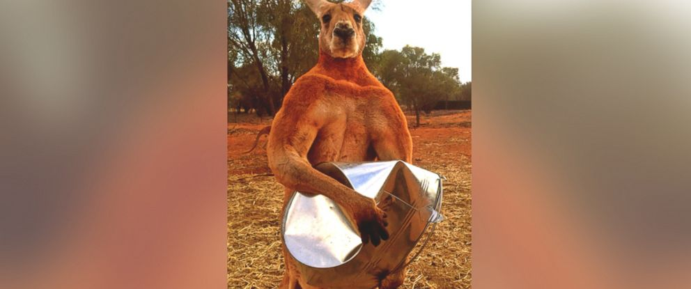 PHOTO: Roger the kangaroo crushes steel in the viral photo that made him famous.